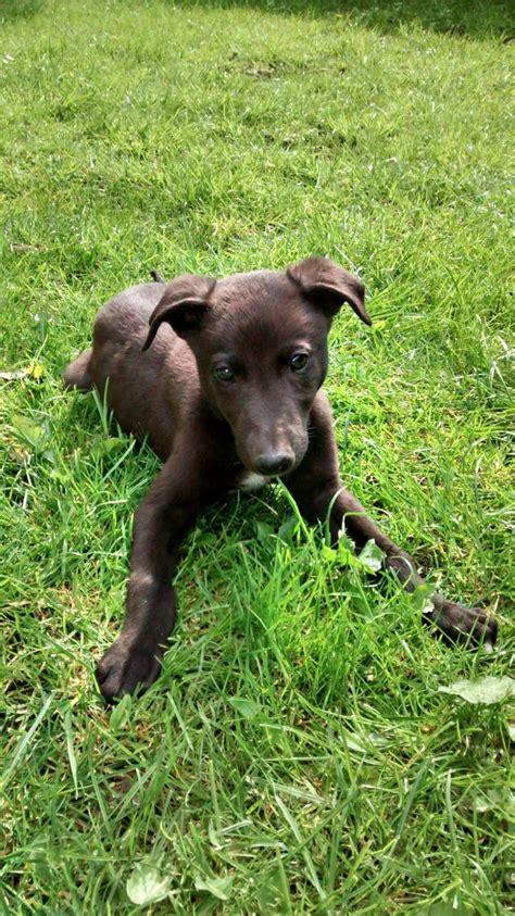 greyhound puppy for sale greyhound puppy for sale ready now peterborough cambridgeshire pets4homes