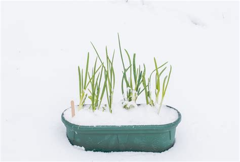 vegetables that grow in winter 10 best vegetables growing in winter a green