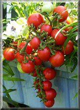 Impressionnant Tomates Cerises En Jardiniere #2: Microtom1.jpg