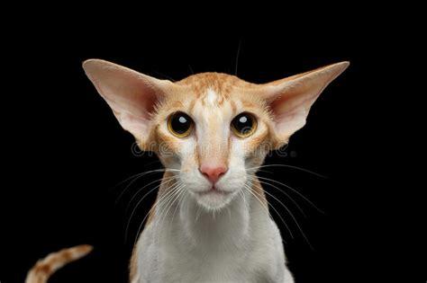 red cat wallpaper kota damansara closeup white oriental cat with big ears frightened