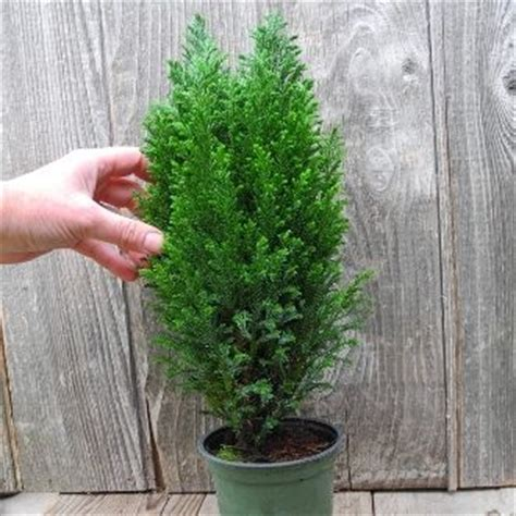 ellwoods blue cypress  miniature christmas tree