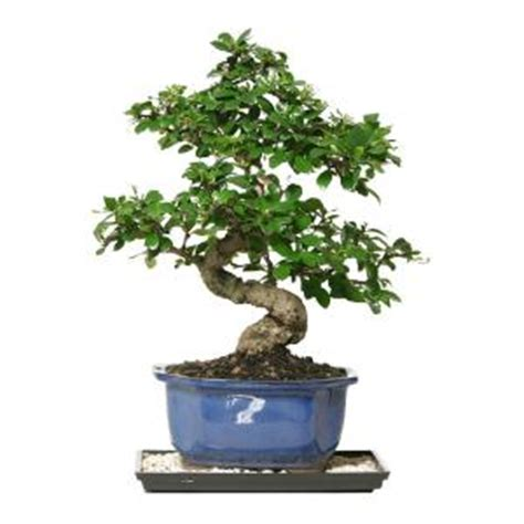 brussels bonsai fukien tea bonsai ct ft  home depot