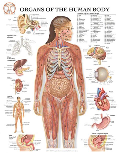 anatomy organs human vital organs diagram human anatomy diagram