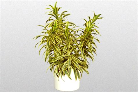 dracaena reflexa dracaena reflexa song of india