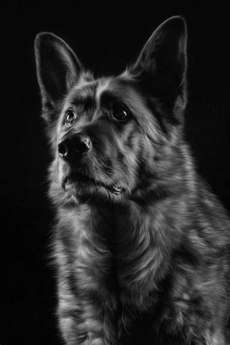 pomeranian german shepard 17 best images about pomeranian dogs shepherds on german shepherd