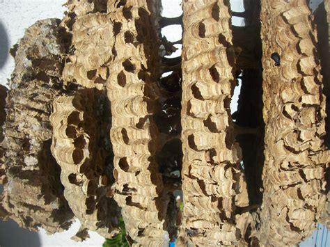 calabroni nel camino il nido di calabroni rinvenuto nel camino il settempedano