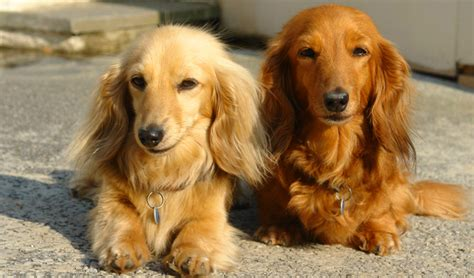 hair weiner what the books didn t tell you about dachshunds