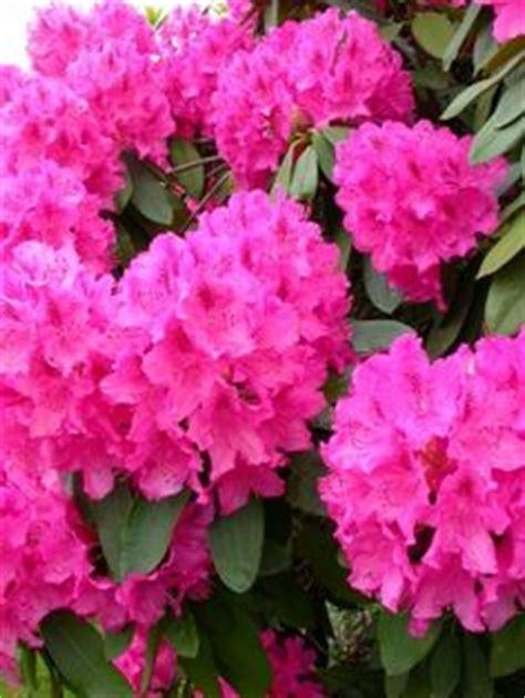 flowering shrubs pacific northwest flowers azalea rhododendron azal 233 ia on