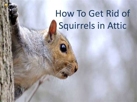 how to get rid of squirrels in the backyard how to get rid of squirrels in attic
