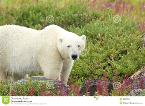 polar in the fireweed b royalty free stock image image 34475006
