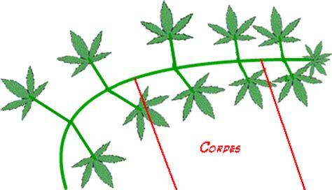 le croissance et floraison cannabis le palissage du cannabis