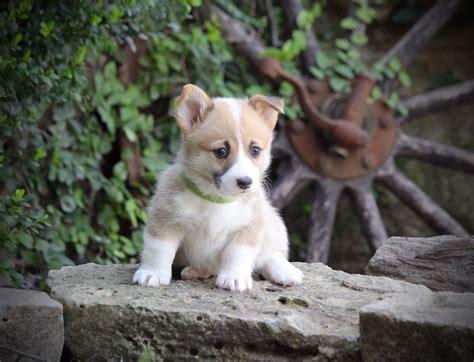 corgi puppies for sale in ga corgi puppies for sale in cheap