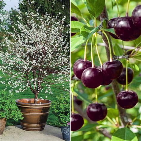 juliet cherry gardens alive