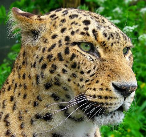 imagenes jaguares selva fotos de leopardos