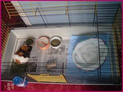 best bedding for guinea pigs 1000 images about guinea pig facts tips on pinterest