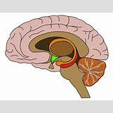 Hypothalamus   794 x 614 jpeg 42kB