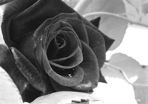 rosas negras imagenes gratis rosa negra gonzalo fern 225 ndez flickr