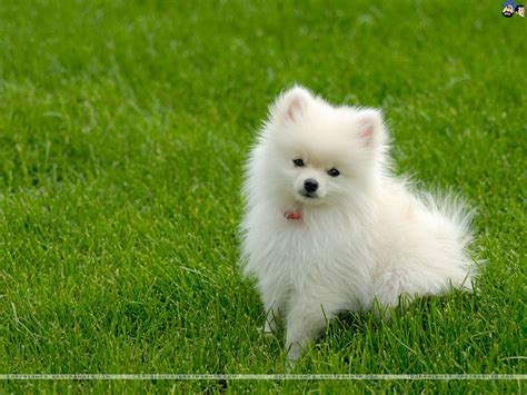 white puppy dogs pictures images photos