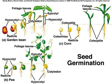 bean plant diagram pea seed diagram pea get free image about wiring diagram