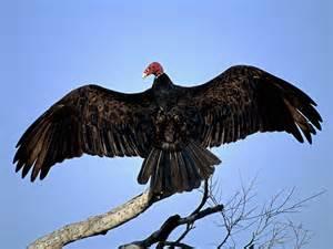 gavilan hills blog turkey vulture