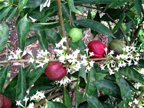 Obat Tradisional Gemuk Sehat Ramuan Mahkota Dewa khasiat tanaman mahkota dewa tanaman obat tradisional
