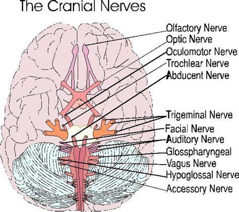 cranial nerves diagram remembering cranial nerves allnurses