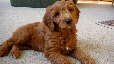 brown goldendoodle puppies goldendoodle a golden retriever poodle mix spockthedog
