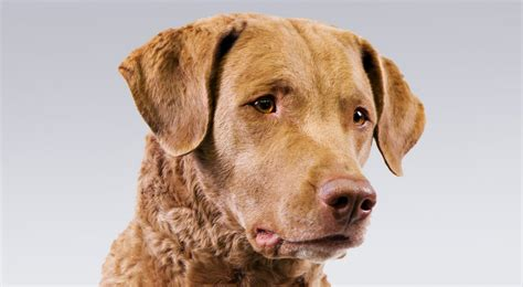 chesapeake puppies chesapeake bay retriever breed information american kennel club