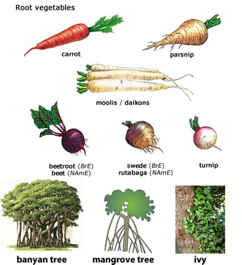 list of edible root roots learning about fibrous tap roots words