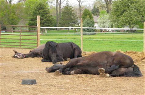 do horses sleep standing up 171 rochester trail riders