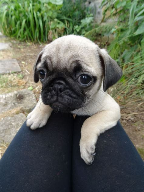 pug pedigree pedigree pug puppies for sale ready for loving hom langport somerset pets4homes