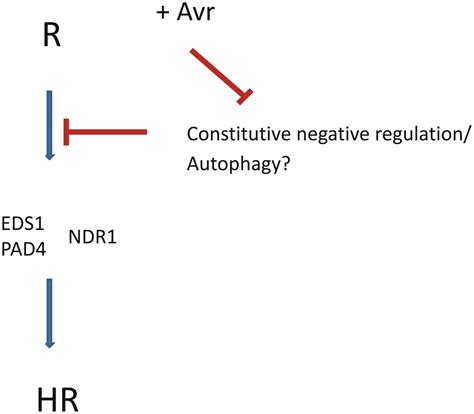 r protein mutants frontiers constitutive negative regulation of r proteins