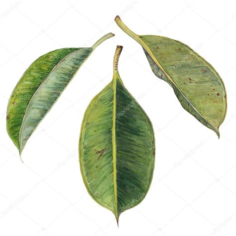 leaf rubber st watercolor green rubber plant leaves stock photo
