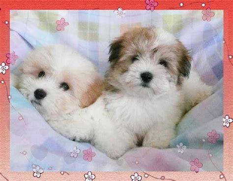 coton puppies happy hearts coton de tulear royal of madagascar