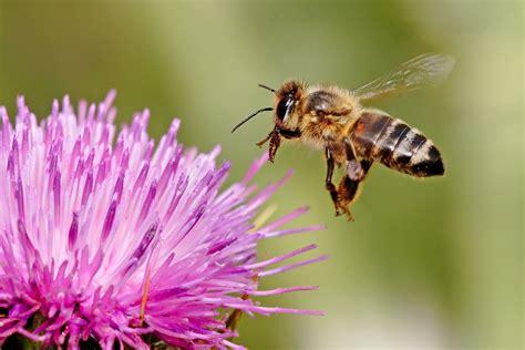 Marvelous Spring Garden Germantown #7: Honeybee_landing_on_milkthistle02.jpg