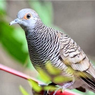 Lu Spektrum Untuk Lovebird cara mengetahui perkutut jantan atau betina
