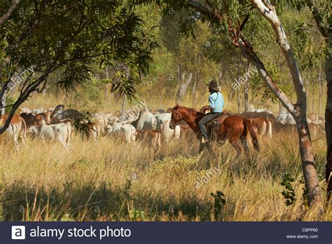 australian cattle cowboys cowboy mustering cattle victoria highway northern