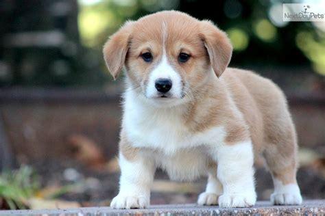 free corgi puppies pembroke corgi puppies sale 5 free hd wallpaper dogbreedswallpapers