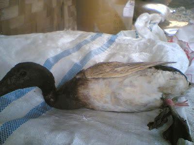 Bebek Peking Muda peternak unggas home