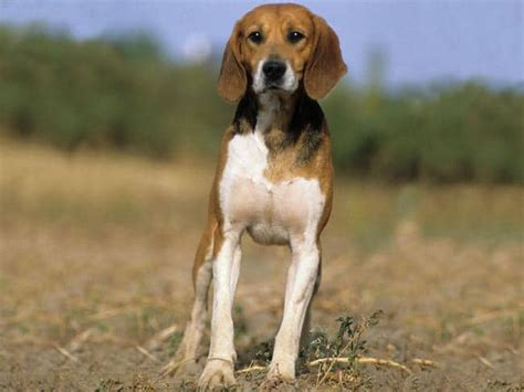 beagle puppies ta beagle harrier dogs breeds pets