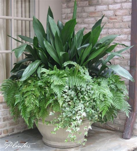 a permanent pot planting cast iron autumn ferns and variegated ivy a planters design