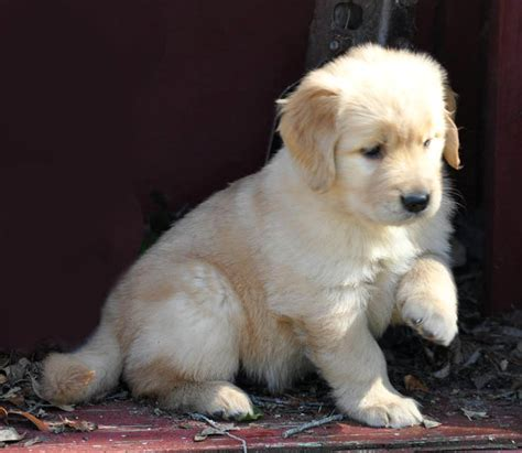 3 week golden retriever puppies golden retriever puppy 5 weeks dogs in our photo