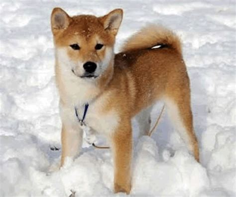 shiba dogs shiba inu puppies photograph puppies shiba inu puppy 5 gif