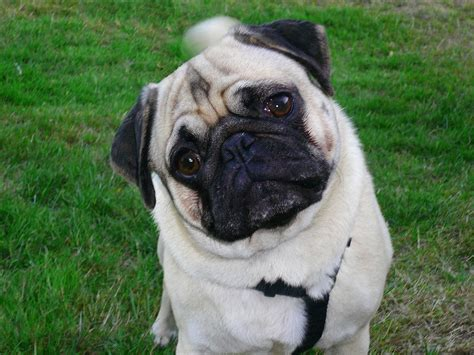 how are pugs how much do pugs cost breeds picture