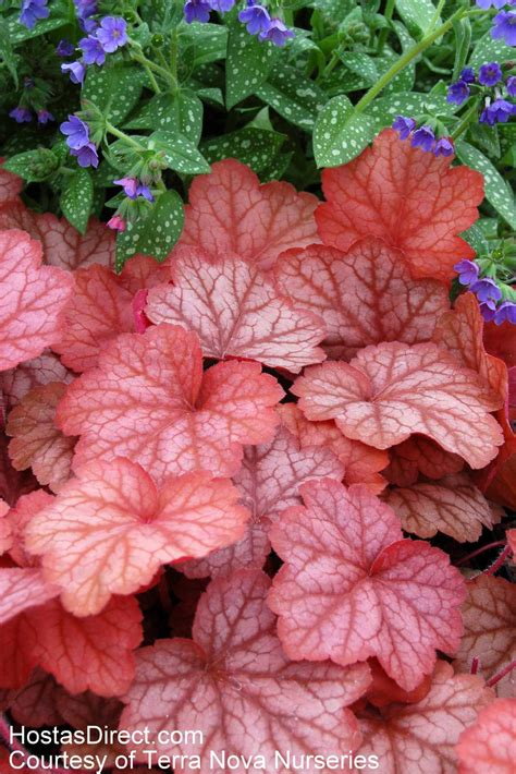heuchera care and maintenance learn about how to care