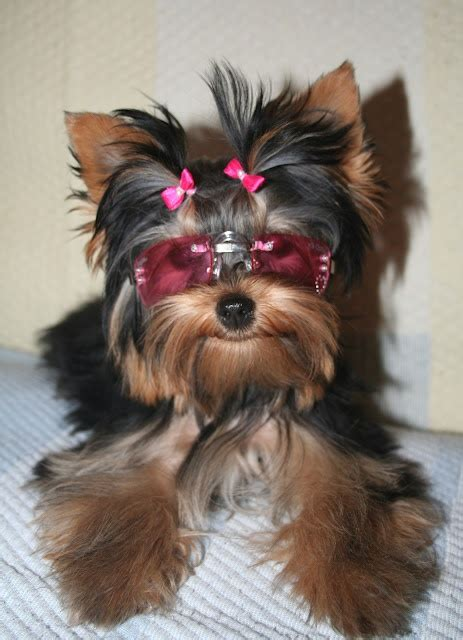 hair bows for yorkies yorkie wearing small pink hair bows and rectangular shades chic