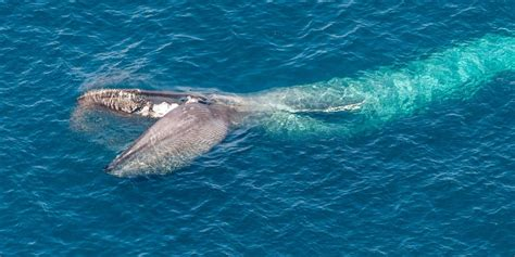 blue whales eating www pixshark com images galleries