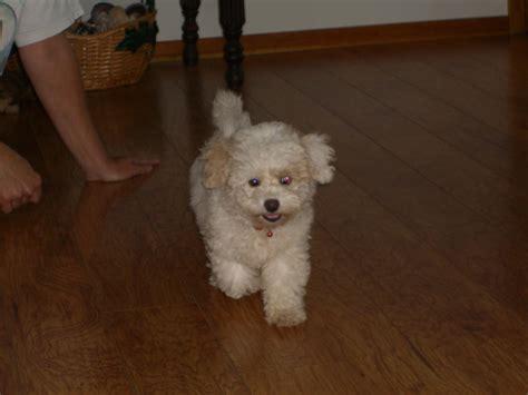 bichon poodle puppies poodle or bichon frise allergic poodles vet skin dogs city data forum
