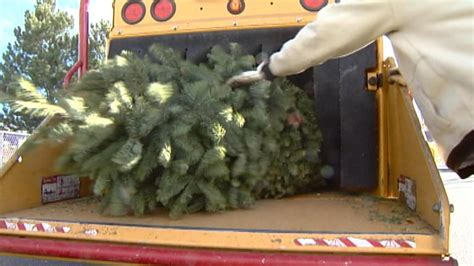christmas tree recycling begins in denver colorado news