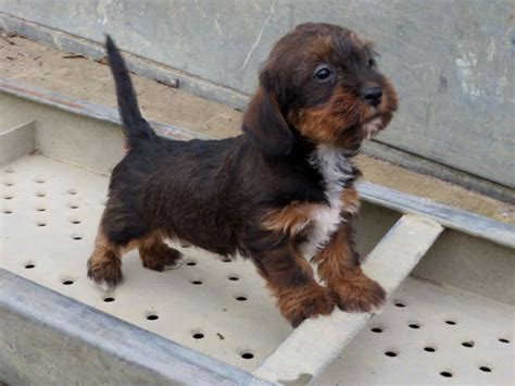 dachshund mix puppies for sale dachshund bulldog mix breeds picture